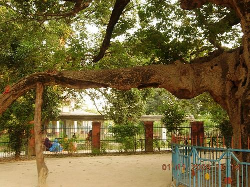 Parijat tree at Kintoor Barabanki 003