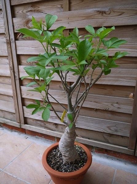 Comment cultiver votre petit baobab et l 39 entretenir - Petit arbre d interieur ...