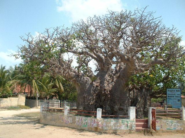 Mannar Sri Lanka  City new picture : Les baobabs du Sri Lanka sur l'île de Mannar Institut pour l'Etude ...